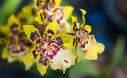 Orchideenkreuzungen Stockbilder