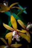 Orchideenkreuzungen Lizenzfreies Stockbild