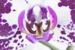 Orchideenmakrobild stockfotografie