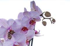 Orchideennahaufnahme Stockfoto