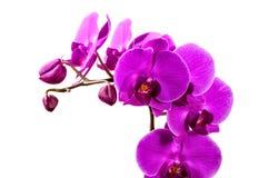 Orchideennahaufnahme, Blumen des Purpurs Stockbilder