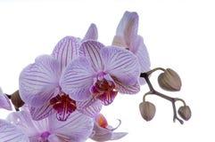 Orchideennahaufnahmen Stockfotografie