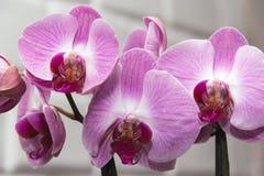 Orchideenveilchen lizenzfreie stockfotos