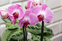 Orchideenveilchen Stockbild
