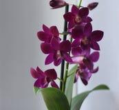 Orchideenveilchen Dendrobium Stockfotografie
