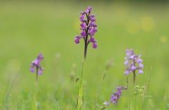 Orchideenwiese Stockbild