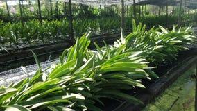 Orchideenzuchtgarten in Thonburi Thailand lizenzfreies stockbild