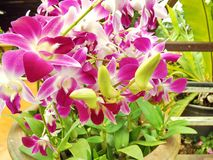 Orchideeroze in tuin Stock Fotografie