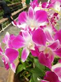 Orchideeroze in tuin Stock Foto