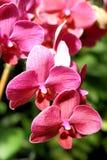 Orchideeschönheit in der Blüte Stockbild