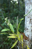 Orchideesorte Encyclia Stockfoto