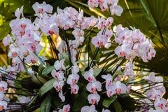 Orchideestruik in bloei in de tropische serre stock foto