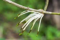 Orchideewortel Stock Afbeelding