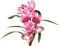 Orchidei gałąź z menchia liśćmi i kwiatami długo Obrazy Stock