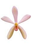 orchidei kierownicze menchie Obrazy Royalty Free