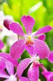 orchidei menchie Obraz Stock
