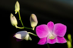 orchidei menchie Obrazy Royalty Free