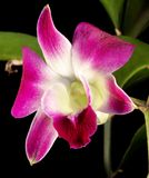 orchidei menchie fotografia royalty free