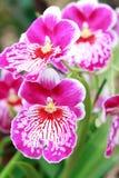 orchidei menchie Zdjęcie Royalty Free
