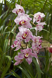orchidei menchie Zdjęcia Royalty Free