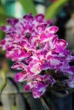 Orchidei Tajlandia fotografie Zdjęcie Royalty Free