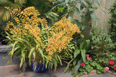 Orchidées jaunes dans un récipient Photos libres de droits
