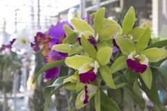 Orchidées vertes Photo libre de droits