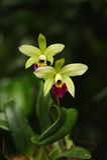 Orchidées vertes et rouges Photos libres de droits