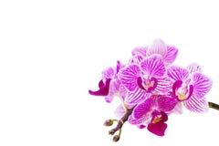 Orchidfilial som isoleras på vit bakgrund Royaltyfri Fotografi