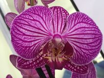 Orchidius flower purple Royalty Free Stock Photography