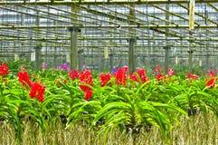 Orchidlantgård i Thailand Royaltyfria Foton