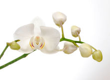 Orchidline Image stock