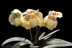 orchidpaphiopedilum royaltyfri foto