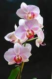 orchidpink arkivfoto