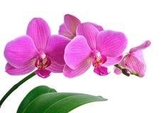 orchidpink Royaltyfria Foton