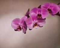 orchidpink Royaltyfria Bilder