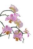 orchidpink Royaltyfri Fotografi