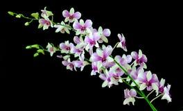 orchidpurple Fotografering för Bildbyråer