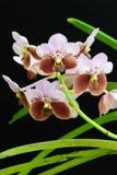 orchidpurple Arkivfoton