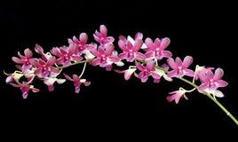 orchidpurple Royaltyfri Fotografi