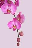 orchidpurple Royaltyfria Foton