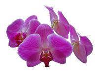 orchidpurple Royaltyfri Foto