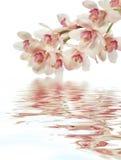 orchidpurple Royaltyfria Bilder