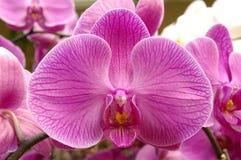 orchidpurple Arkivbilder