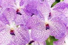 orchidpurple vanda Royaltyfria Foton
