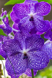 orchidpurple vanda Arkivfoto
