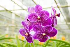orchidpurple vanda Royaltyfria Bilder