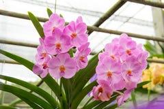 orchidpurple vanda Royaltyfri Fotografi