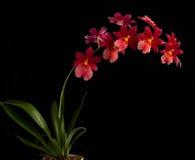 orchidred fotografering för bildbyråer