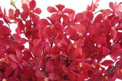 orchidred Arkivbilder